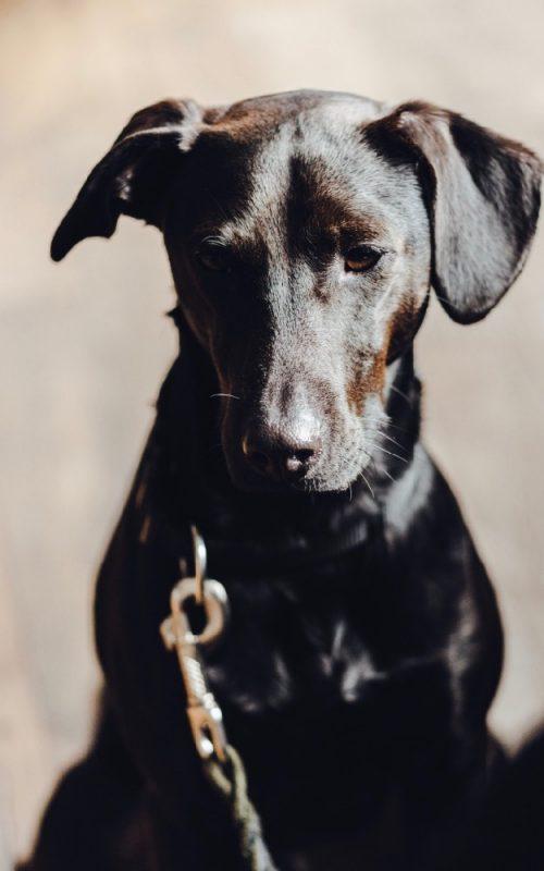Bettwanzensuchhund Linus